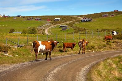 Cattle on the farm road winding up the hill at Gauklie.
