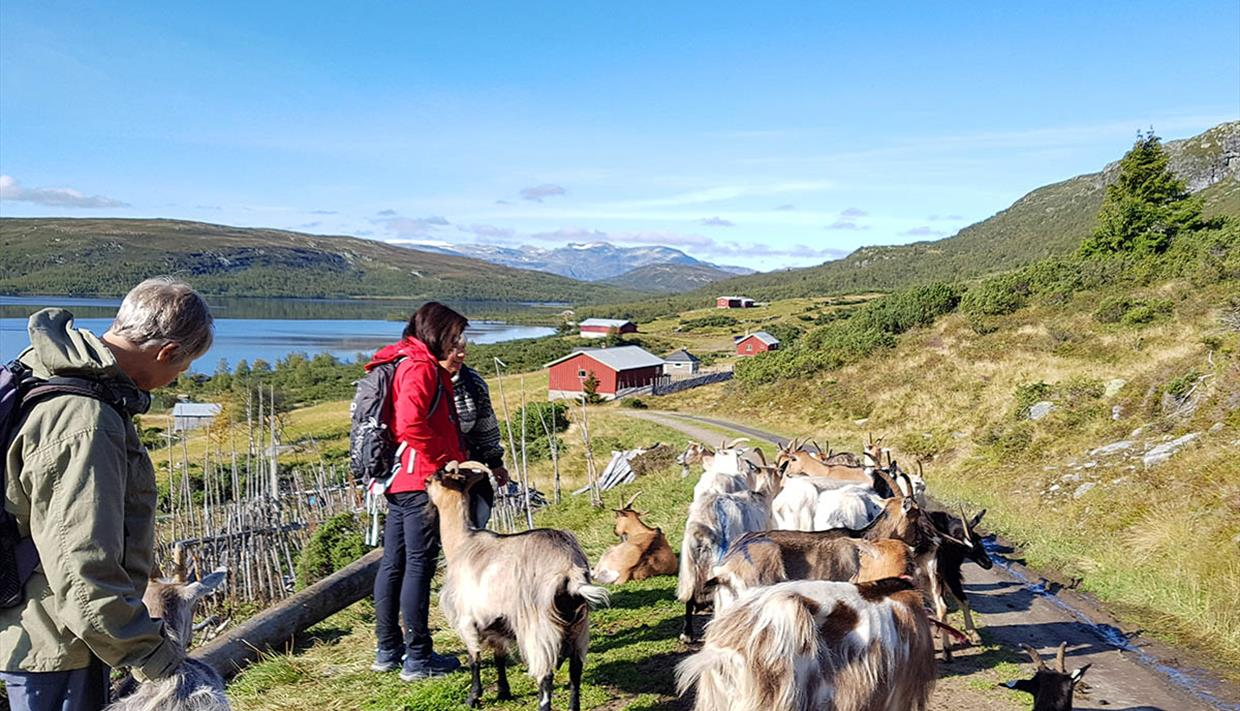 Summer farm visitors on a hike among goats. A lake and mountains in the background