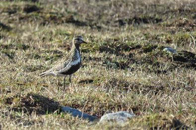 The European Golden Plover (Pluvialis apricaria) is a bird of the tundra. In Valdres it can be found i.e. on the high plateaus of Valdresflye and Slet
