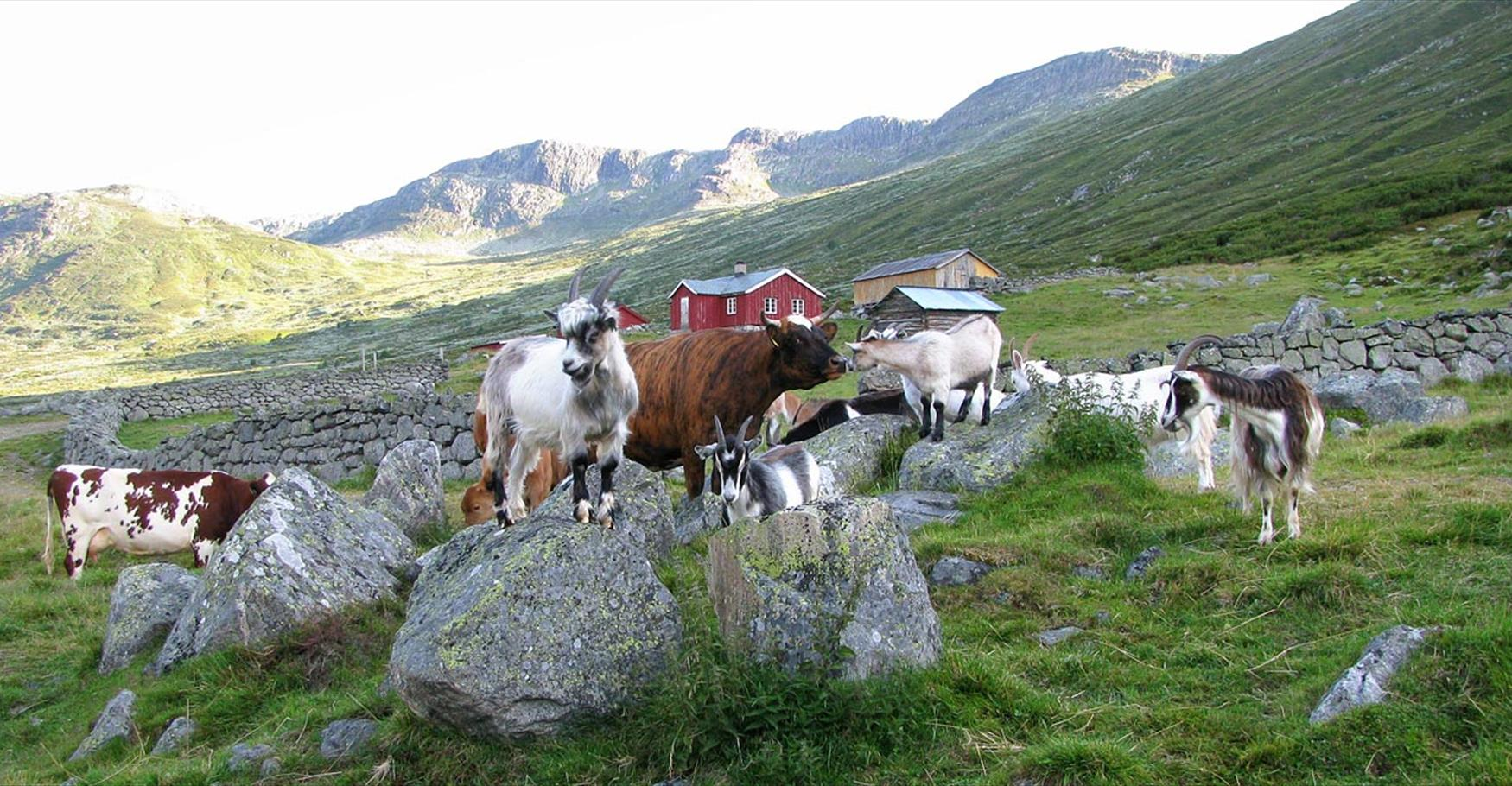 Farm animals grazing in the Sanddalen Valley.