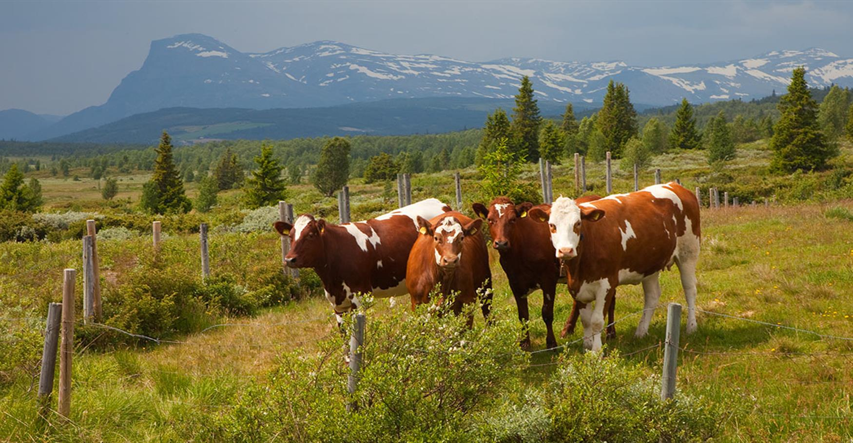 Cows grazing at Stølsvidda.