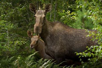 Moose safari at Vaset