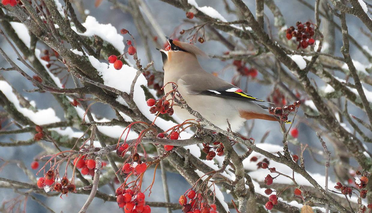 Bohemian waxwing at Fagernes town centre.