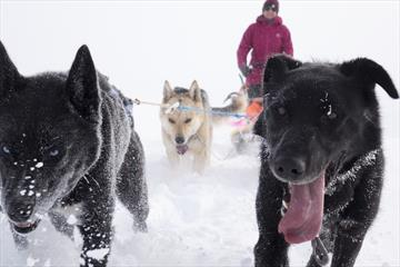 Beito Husky Tours - Loke's day out - Musher for a day