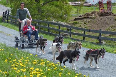 A dog sledding team on wheels along a medow of blooming dandelions