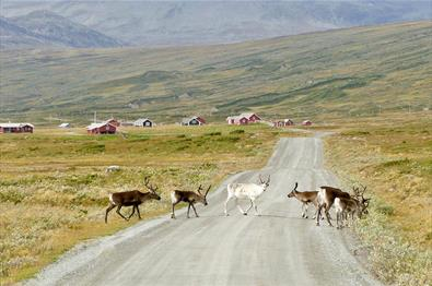 Reindeer cross a gravel road in open mountainous country. Some farm houses can be seen in the background.