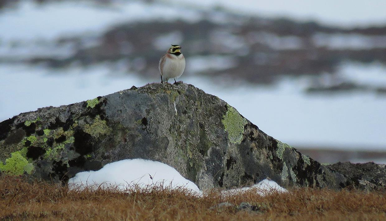 The Shore Lark (Eremophila alpestris) is one of the key species on the high mountain plateau Valdresflye.