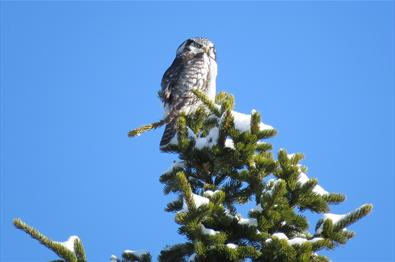 The Northern Hawk Owl (Surnia ulula) is a typical species of  the low alpine plateau Stølsvidda in Valdres.