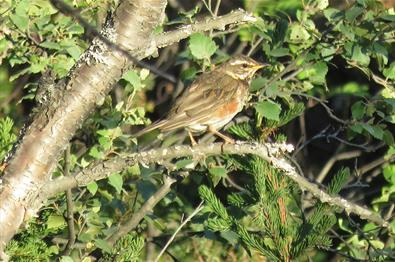 The Redwing (Turdus iliacus) breed in large numbers in montane birch forest throughout the area.
