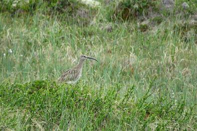 Whimbrels (Numenius phaeopus) breed in the Oppsjømyra Natural Reserve.